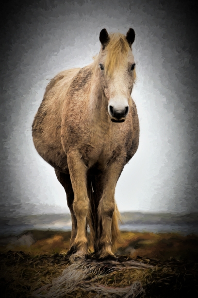 connemara-pony-oil1-6jt-cqcl.jpg