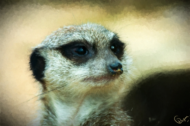 meerkat-oil-q2s-4jjn.jpg