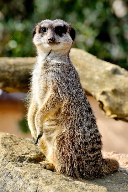meerkat2-photo-q2s-4jjn.jpg