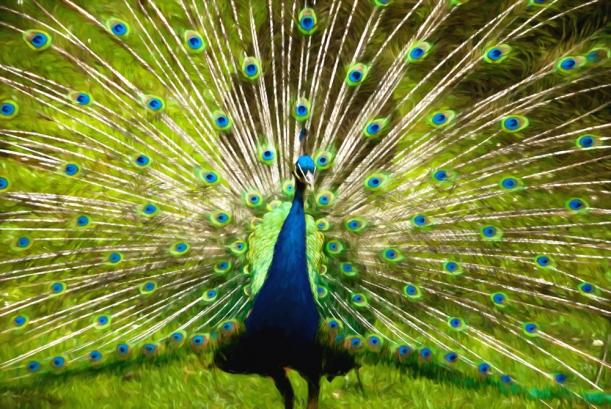 peacock-oil-85g-1zqx.jpg