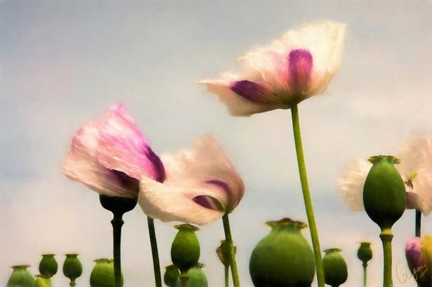 white-poppies2-oil-g10-k5f1.jpg