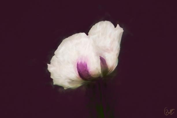 white-poppy-oil-g10-k5f1.jpg